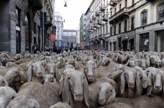 документально-художественная картина Марко Бонфанти «Последний пастырь» (2012) в лирической и немного сказочной форме повествует о путешествии Ренато Дзуккелли, последнего пастуха Ломбардии, который отправляется в Милан со стадом из 700 овец