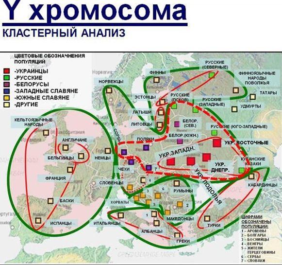 Все четыре, анализируемые российскими генетиками украинские популяции (вместе с кубанскими казаками — да, Кубань — это Украина!) входят в один кластер (тонкая красная линия). Чуть расширенный кластер (пунктирная красная) включает Польшу (без Поморья, ибо там немцы и скандинавы долго хозяйничали), всю Беларусь и запад европейской России