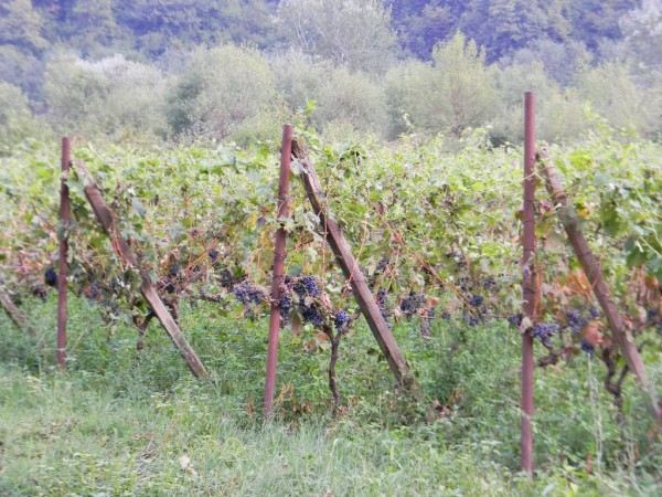 Виноградарство — это очень кропотливое занятие. Кусты винограда надо подрезать, подвязать, поливать, следить за тем, чтобы виноград не пожрали вредители. Каждый день надо вставать в 5 утра и работать.