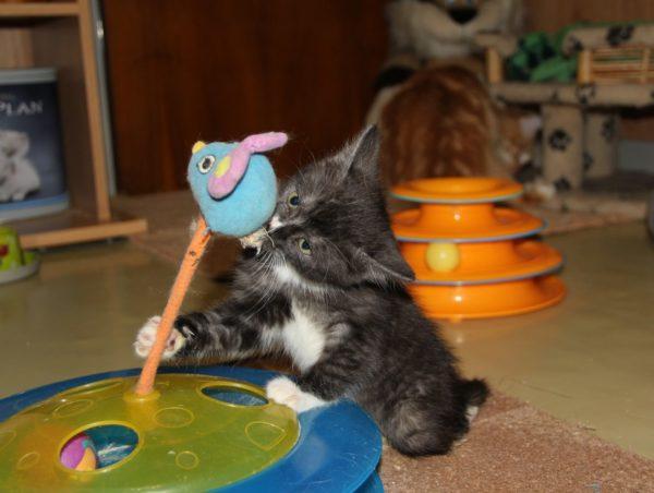 Как и все котята, он хочет играть и играет, но только передними лапами. Он никогда, как другие коты, не будет скакать и прыгать, охотиться за бабочками или мышами, изгибаться дугой, пугая предполагаемого противника. Липецкие мальчики лишили его этого кошачьего счастья