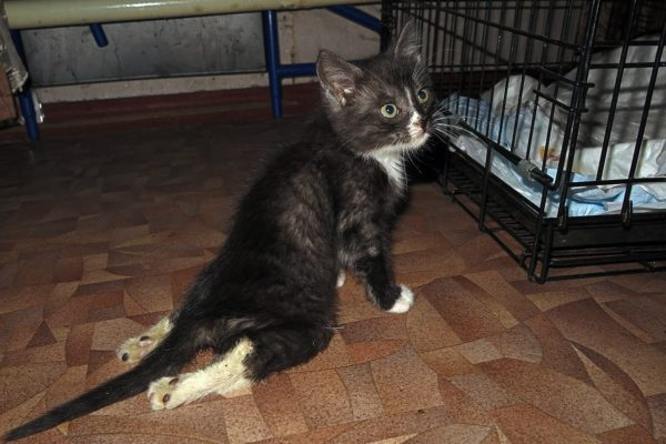 Из-за издевательств липецких малолетних ублюдков у котёнка отнялись задние лапы, есть проблемы с мочеиспусканием - у него перебит позвоночник и повреждены внутренние органы