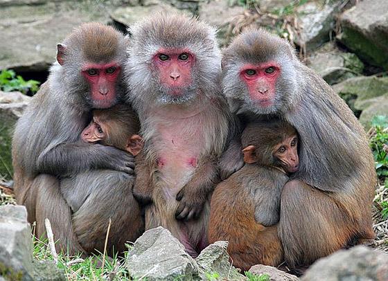 Учёные задействовали в эксперименте 45 неродственных самок макак. Разделив их на группы, они наблюдали за тем, как животные выстраивали свою социальную иерархию